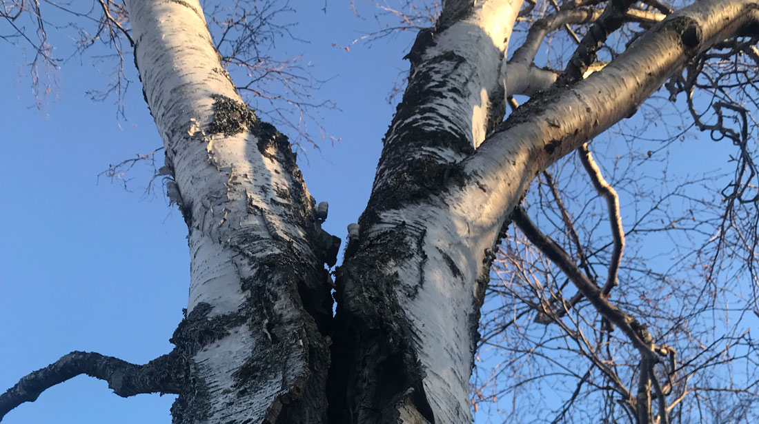 Top Notch Tree Removal LLC: Tree removal in Fairbanks, Delta Junction and Salcha